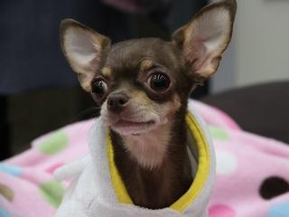 News_Lola_small dog_blanket