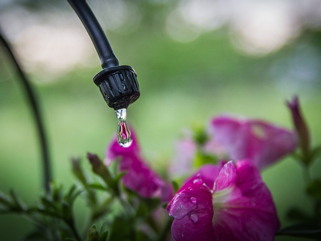 Photo of drip irrigation emitter watering a petunia