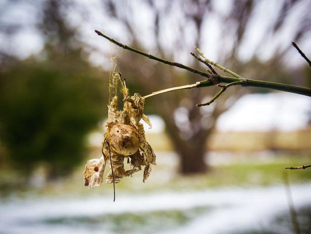 Photo of garden spider egg sack connected to a limb