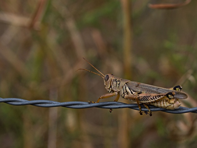 Grasshopper on barbed wire fence
