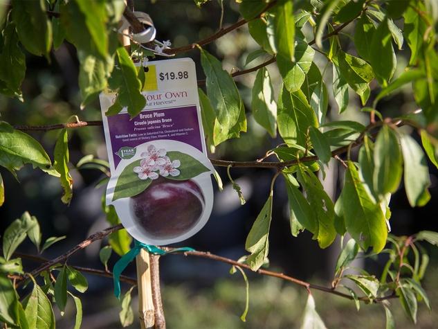 Plum tree with label