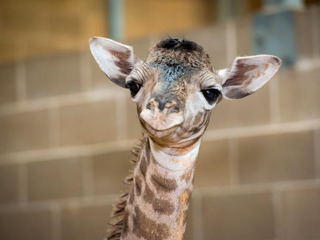 4 Houston Zoo Masai giraffe born to Tyra February 2014