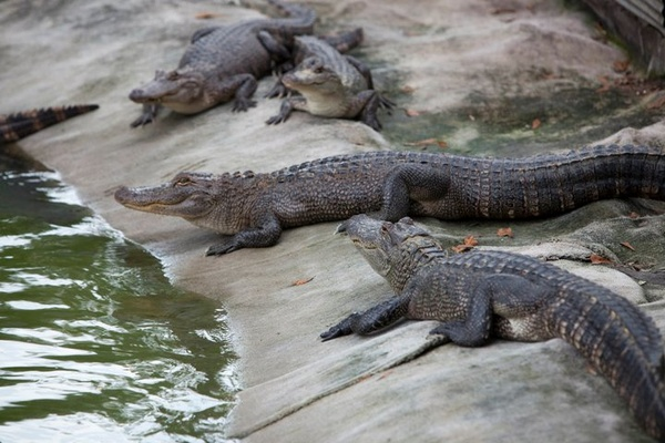 Swamp People, aligators, crocodiles