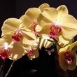 News, Shelby, MFAH Grand Gala Ball, orchids, Oct. 2014