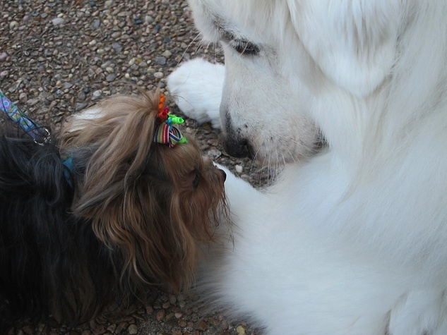 """4 Katie Oxford Blessing of the Animals at Bellaire United Methodist March 2015 Yorkie meets """"Teddy"""" - a Great Pyrenees and a Faithful Paws Therapy Dog"""