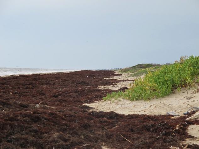 3 Katie Oxford seaweed April 2015 Seaweed builds beaches.