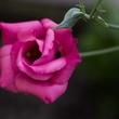 Photo of lisianthus flower