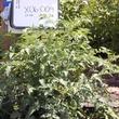 Texas Wild tomato plants growing in garden