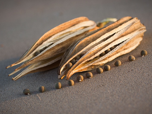 Dried okra pods and seeds