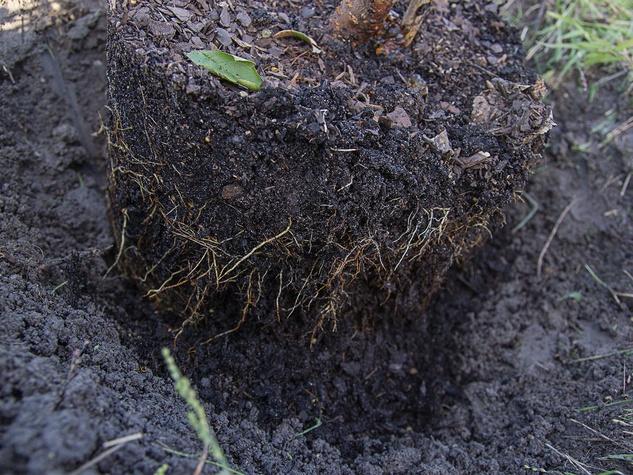 Plum tree roots