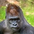 Houston, Houston Zoo Gorillas, May 2015, gorilla