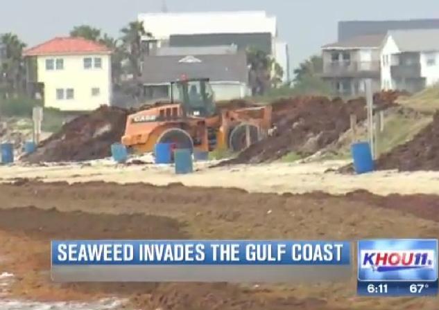 Galveston seaweed 2014 KHOU 1