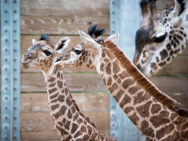 New baby giraffes at Houston Zoo