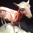 Sheep at Animal Inside out at Perot Museum of Nature and Science