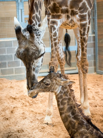 7 Houston Zoo Masai giraffe born to Tyra February 2014