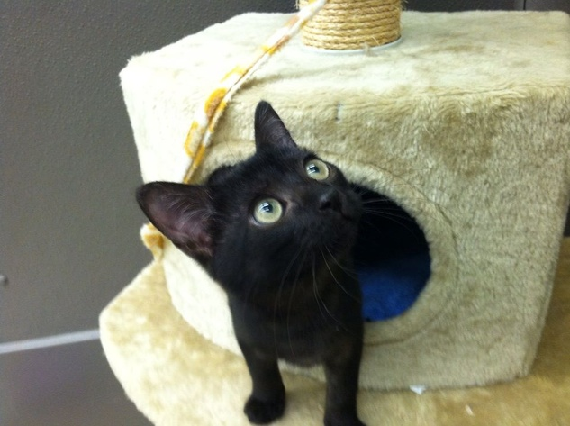 pet of the week Valdez the cat of Austin Pets Alive in a cat house