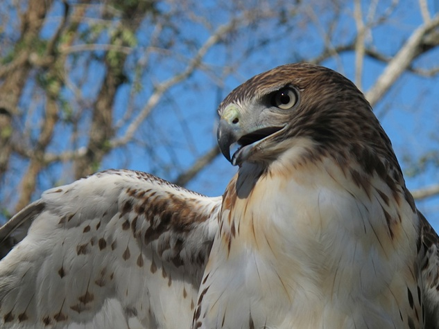 17 Katie Oxford Clear Creek Nature Center hawk release January 2014 Red-Tailed Hawk No. 2