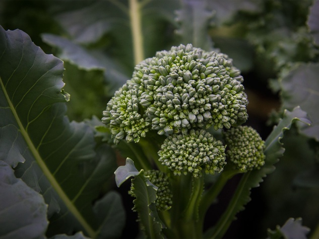 Photo of immature head of broccoli