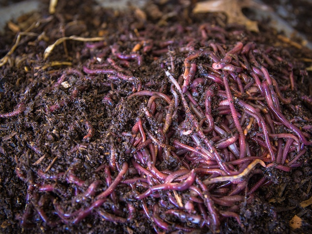 Photo of composting worms