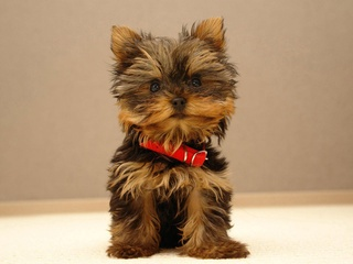 Yorkshire terrier puppy with red collar