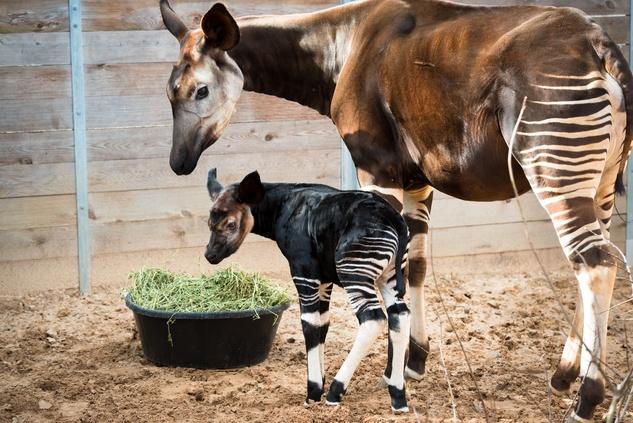 1 baby Okapi born at the Houston Zoo November 2014