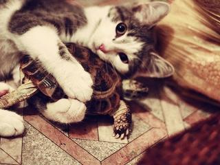 Cat cuddles turtle