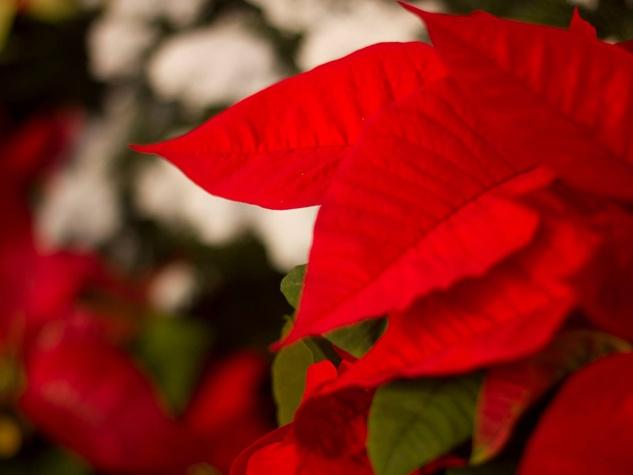 red poinsettia Cornelius Nursery December 2014