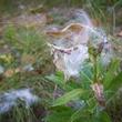 Photo of milkweed seed pod.