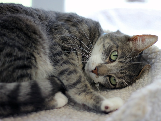 Tulsi the cat at SPCA of Texas