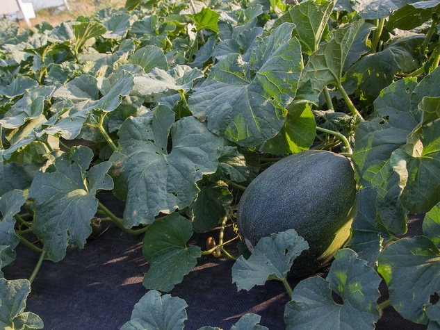 Israeli melon growing in field