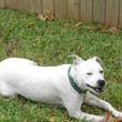 APA Austin Pets Alive! dog Queen Elizabeth in a yard