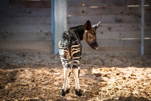 2 baby Okapi born at the Houston Zoo November 2014