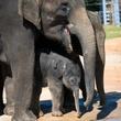Houston Zoo exhibit paintings by elephants and orangutans April 2014 Baby_Elephant_Duncan