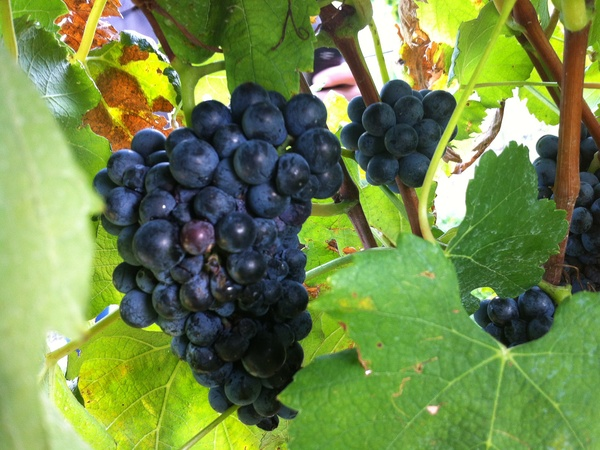 Joel, Messina Hof, July 2012, grapes