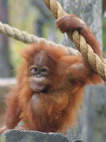 Houston Zoo exhibit paintings by elephants and orangutans April 2014 Indah-TBuhrmester crop
