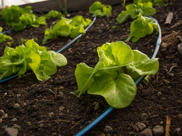 Lettuce with drip irrigation lines