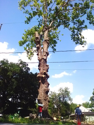 100-year-old American Sycamore tree at Oxford St. Houston Heights cut