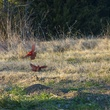Photo of cardinal males fighting