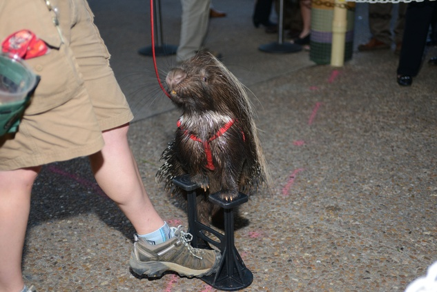 92 African crested porcupine, Rocco at the Houston Zoo Asante Society dinner April 2014