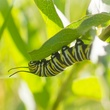 photo of monarch butterfly caterpillar
