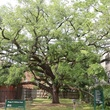 East Montrose home tour giant oak tree in Shiffick Park