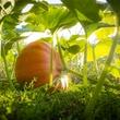 Photo of pumpkin growing on a vine