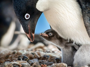 DisneyNature's Penguins tries too hard to march birds into our hearts