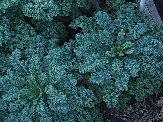 kale thriving in a garden bed