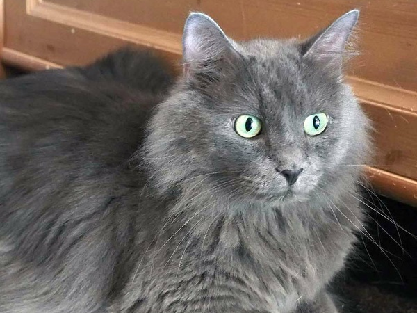Help Find A New Home For Junior Apa S Dashing Russian Blue Cat