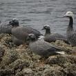 News_UnAlaska_Emperor Geese