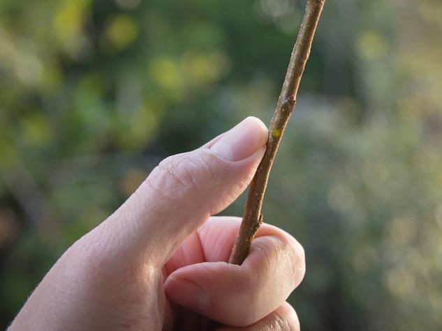 Scratch revealing healthy tree tissue