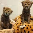 Cheetahs, Dallas Zoo
