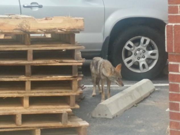 1 coyotes near Bayou Bend October 2014