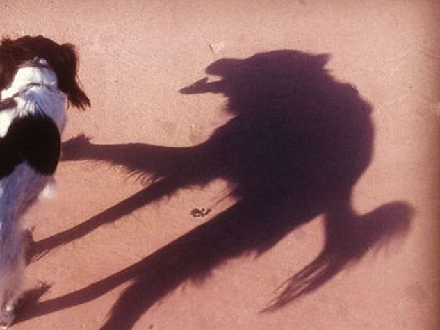 dog, shadow, wolf